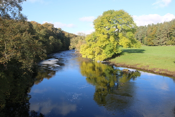 Ash Tree on the River Tees